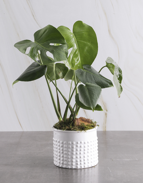 congratulations: Monster Leaf in Textured White Pot!