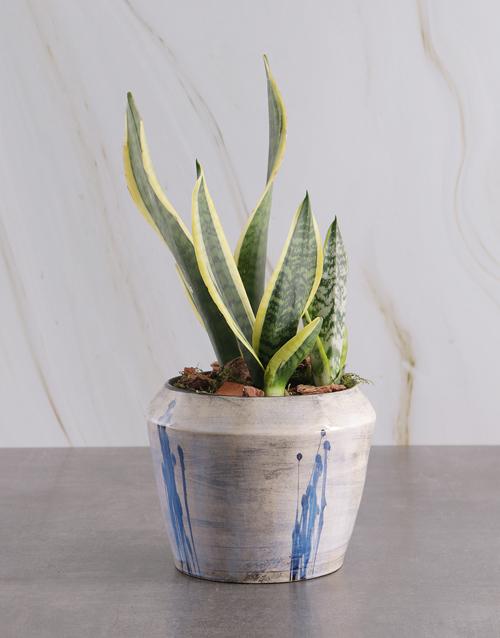 sympathy: Sanseveria in Glazed Ceramic Pot!