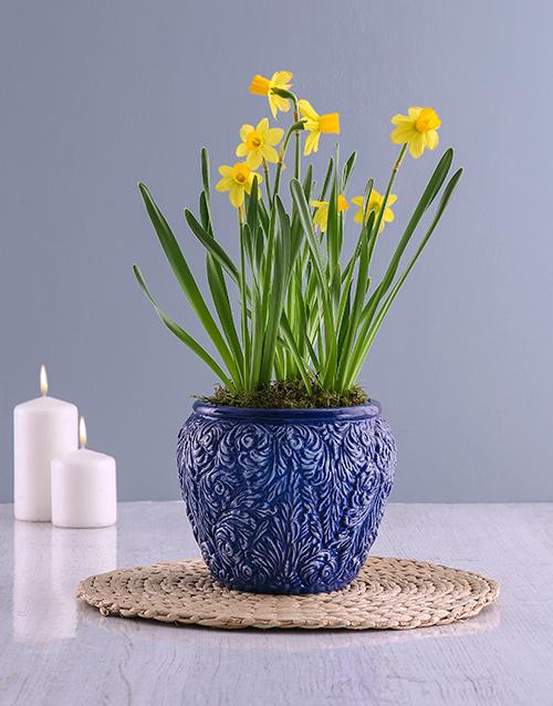 secretarys-day: Yellow Daffodil Plants In Swirl Pot!