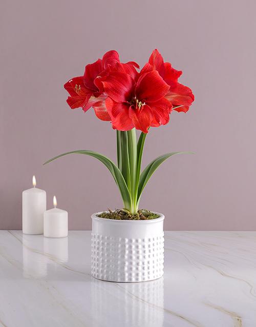 colour: Dotted Pot Amaryllis!