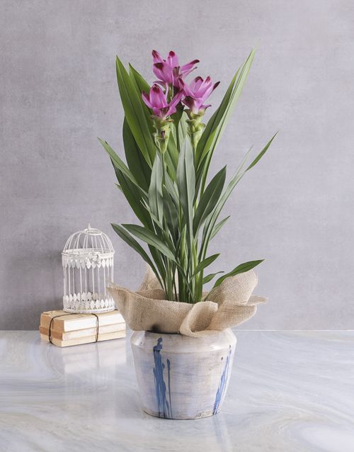 seasonal: Curcuma in Contemporary Glazed Pot!