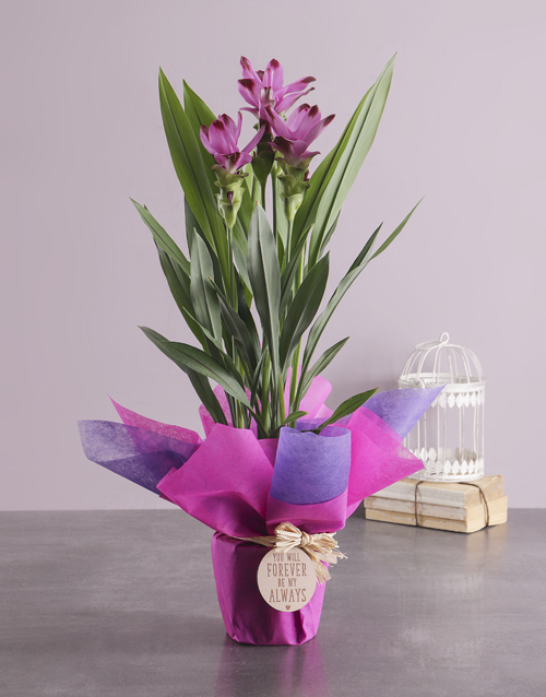 whats-new: Forever and Always Curcuma Plant!