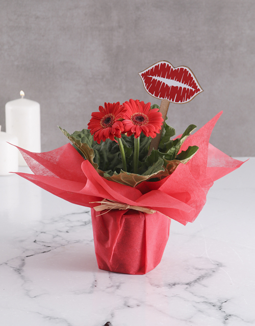 in-a-box: Kisses And Gerbera Plant Gift!