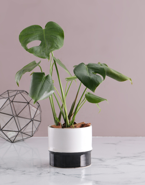 bosses-day: Monstera in Two Toned Ceramic Pot!