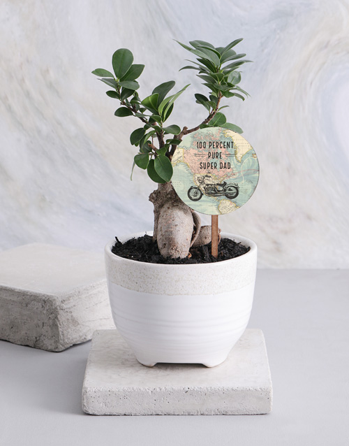 fathers-day: Adventurous Ficus Ginseng In A White Ceramic Pot!