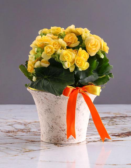 secretarys-day: Yellow Begonia In White Ceramic!