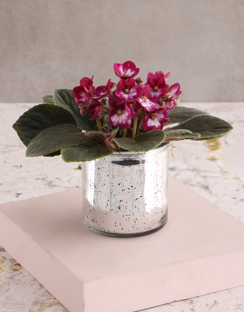 christmas: African Violet Surprise Gift!