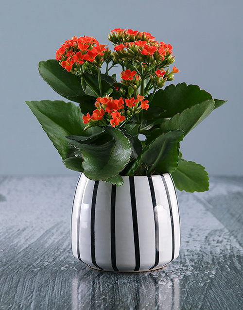 secretarys-day: Vibrant Kalanchoe Plant in Ceramic Pot!