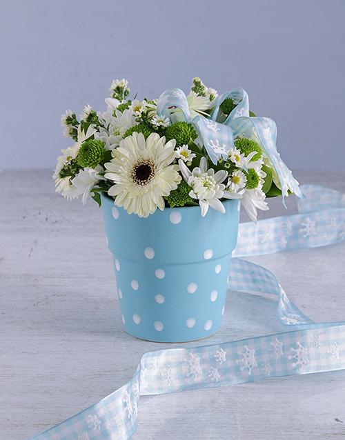 baby: Blue Gerbera Blooms!