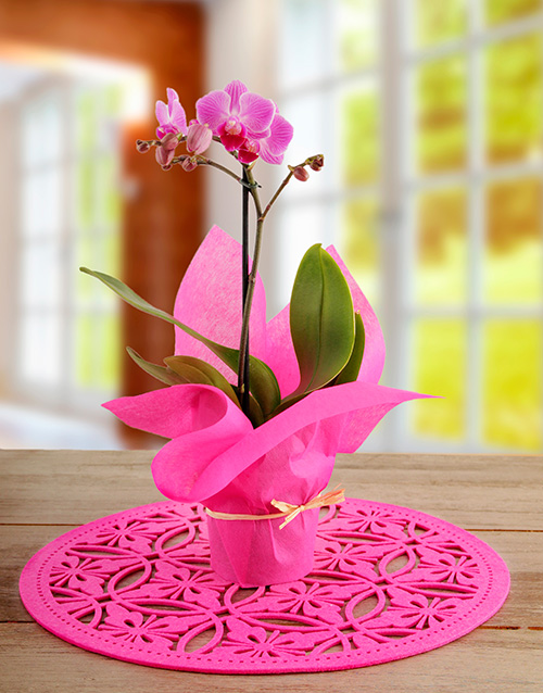 valentines-day: Midi Cerise Phalaenopsis Orchid!