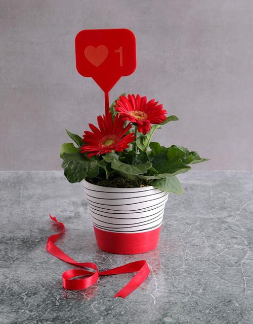 flowering: Mini Gerbera Plant In Red Valentine Pot!