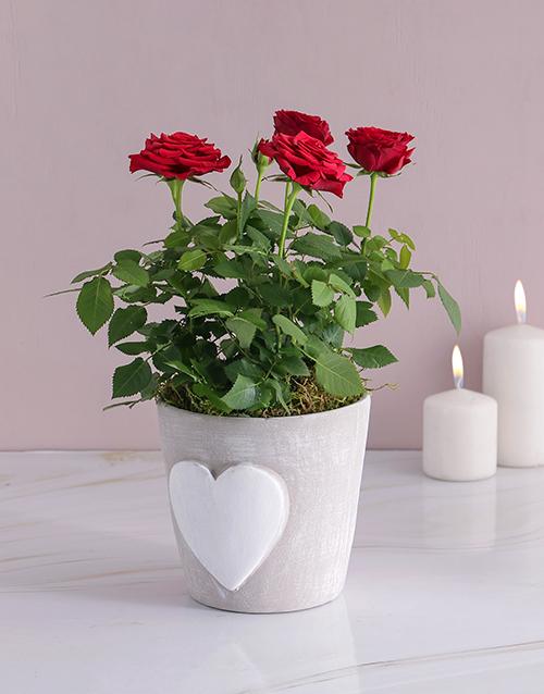 colour: Red Rose Bush In Heart Design Pot!