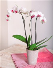 Picture of MYNETPL005 Phalaenopsis Orchid!