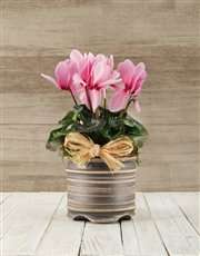 Picture of Cyclamen in a Pot!