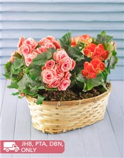 Picture of Begonia Plants in Woven Basket!