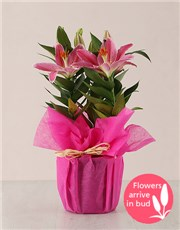 Picture of Stargazer Plant in Wrapping!