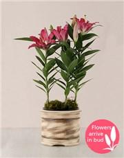 Picture of Stargazer Plant in a Ceramic Pot!