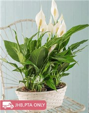 Picture of 2 Spathiphyllum Plants in a Basket!