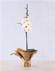 Picture of Phalaenopsis Orchid in Wrapping!
