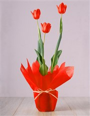 Picture of Red Tulip Plant!
