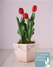 Picture of Red Tulips in Ceramic Pot!