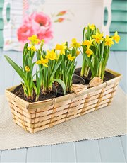 Picture of Daffodils in a Basket!