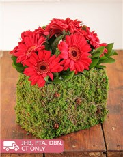 Picture of Mini Red Gerberas in a Moss Basket!