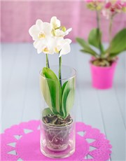 Picture of Phalaenopsis Orchid in Glass Vase!