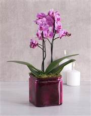 Picture of Mini Phalaenopsis Orchid in a Pink Vase!