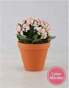 flowers: Mixed Kalanchoe in Terracotta Pot !