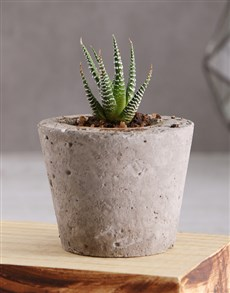 flowers: Discovery Succulent Plant In Cement Pot!
