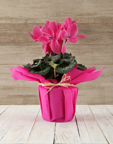 flowers: Wrapped Cyclamen Happiness !