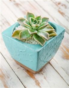 plants: Water Wise Succulent in Blue Ceramic Pot!