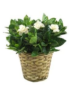 flowers: Gardenia!