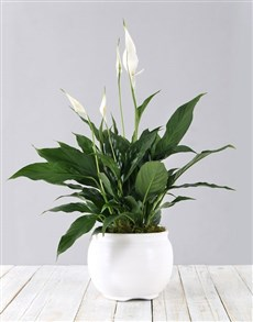 flowers: Pure White Beauty in Pot!