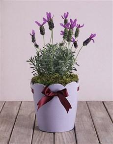 flowers: Lavandula Dream in a Pot!