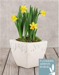 flowers: Daffodil Plant in Square Pot!