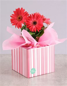 plants: Mothers Day Boxed Daisies!