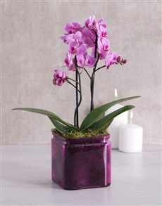 flowers: Midi Orchid in a Coloured Vase!