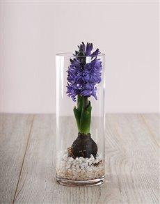 flowers: Purple Hyacinths Delight!