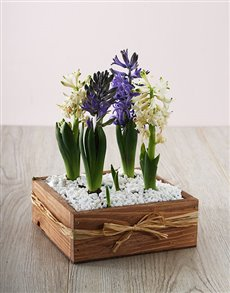 flowers: Hyacinths Plants!