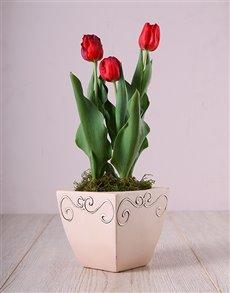 flowers: Red Tulips in Ceramic Pot!