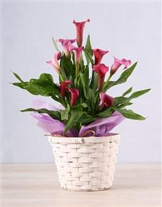 plants: Unique Pink Zantedeschia!