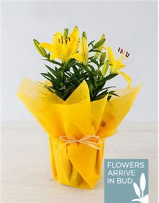 flowers: Yellow Lilies in Pot!