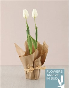 flowers: Peaceful White Tulips!