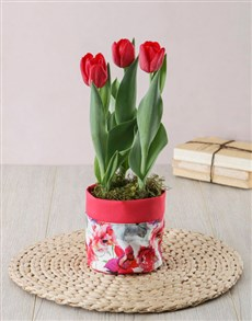 flowers: Red Tulip Plant in Fabric Pot cover!