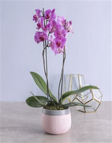 flowers: Orchid in Pink Pot!