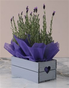 flowers: Mothers Day Duo of Lavender!