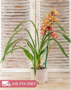 plants: Cymbidium Orchid in Pottery!
