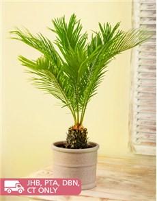 plants: Cycad Revoluta!